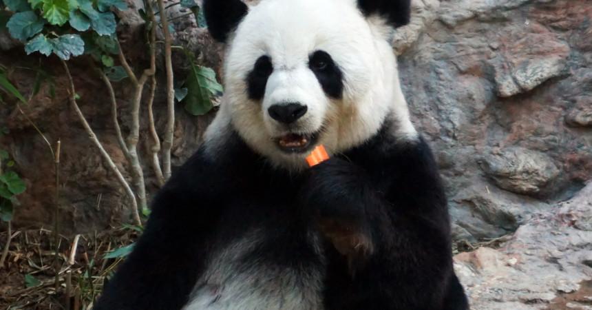 Где в Таиланде встретить панду